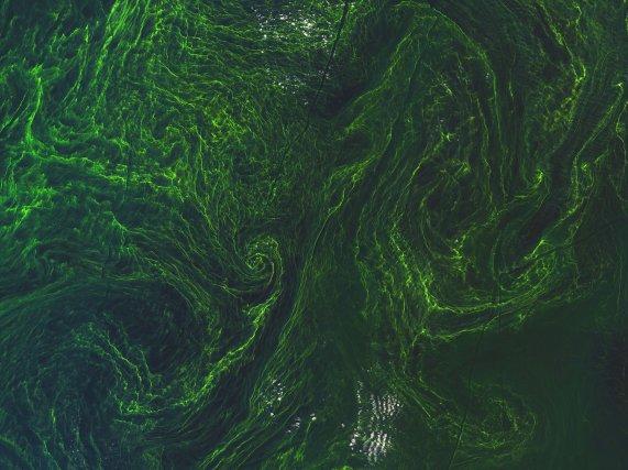 Cette image de Sentinel - 2A a été prise le 7 août 2015. Elle montre une prolifération d'algues dans la mer Baltique. Chaque pixel correspond à 10 m.
