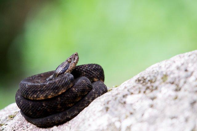 Le Trigonocéphale, ou fer-de-lance, est un crotale endémique de la Martinique dont les descendants ont conquis l'île il y a plus de quatre millions d'années.