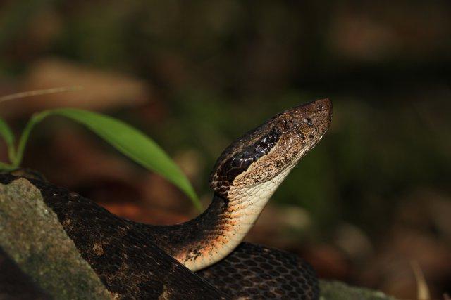 Le Trigonocéphale, ou fer-de-lance, est un crotale endémique de la Martinique dont les descendants ont conquis l'île il y a plus de quatre millions d'années. Photo M. Dewynter