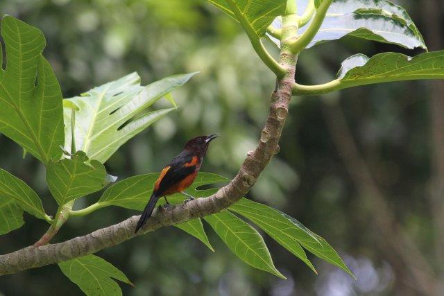 Le Carouge est une espèce endémique de la Martinique, ce qui signifie qu'on ne le trouve nulle part ailleurs. Ses habitats favorables sont indiqués en vert sur la carte. En rouge sont figurées les zones devenues défavorables à cause d'une dégradation de son habitat.