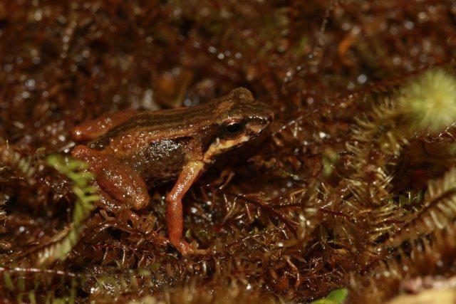 L'Allobate de la Martinique a été découverte dans les profondes ravines du flanc est de la montagne Pelée, vers 500 m d'altitude en 1990. En 2011, elle paraît absente de toutes les formations arborées ou arbustives des massifs montagneux et semble restreinte aux savanes d'altitude supérieure à 800 m.   La végétation basse du sommet de la montagne Pelée, extrêmement dense, compose souvent des tapis de près d'un mètre d'épaisseur. S'y mêlent des fougères, de petits arbustes, des mousses, des sphaignes et des broméliacées terrestres. C'est dans les interstices de cette végétation inextricable que chante l'Allobates. Dans ce microhabitat sombre et hyperhumide, les mâles évoluent dans des réseaux - parfois souterrains - de cavités encombrées de matières végétales mortes, de racines et de tiges.