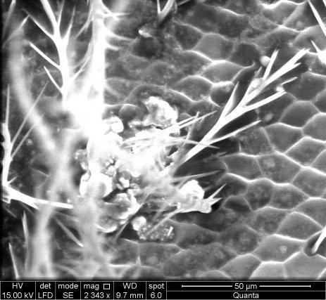 Imagerie MEB, thorax d'Apis grossis 2343fois. On peut remarquer une accumulation de particules.