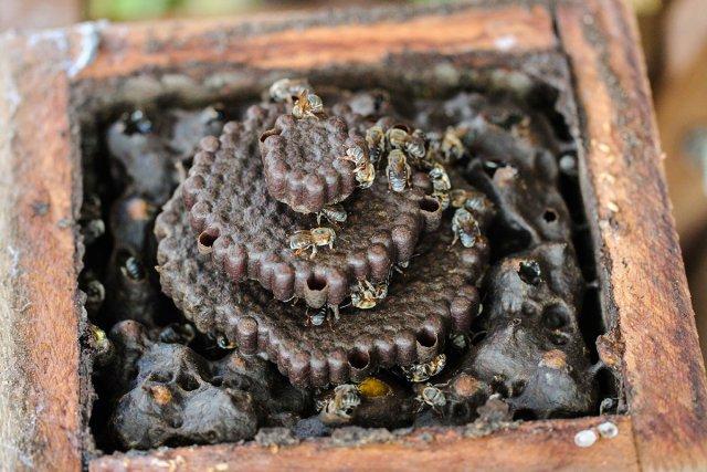 Intérieur d'une ruche de Melipona compressipes. On peut distinguer au centre les disques de couvain et en périphérie les pots de stockage de miel et de pollen.