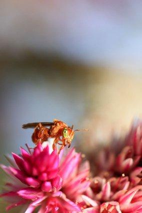 Trigona pallens sur une fleur.