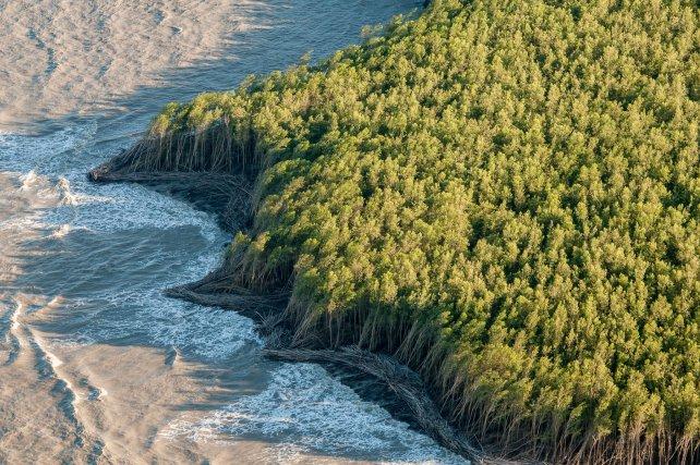 Sur le front de mer de la savane les bancs de vase sont colonisés par les palétuviers avant d'être érodés par la houle.