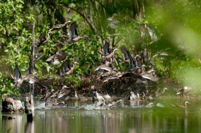 Le pilet des Bahamas est présent toute l'année sur la savane Sarcelle. Entres les mois de juin et de septembre, cette espèce nidifie sur les îlots de végétation du marais.