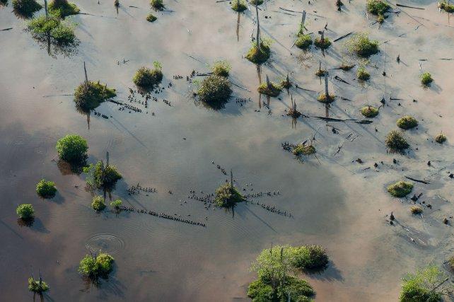 Des dendrocygnes à ventre noir patientent la journée sur le site de Caiman mori avant de partir s'alimenter sur les rizières de Mana à la tombée de la nuit.
