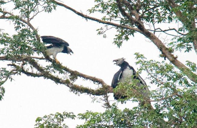 Chez la Harpie féroce, le mâle (à gauche) est beaucoup plus petit que la femelle et les conflits au sein du couple sont rarement à son avantage.