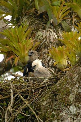A 5 mois, la jeune Harpie féroce arbore un premier plumage presque blanc (équateur)