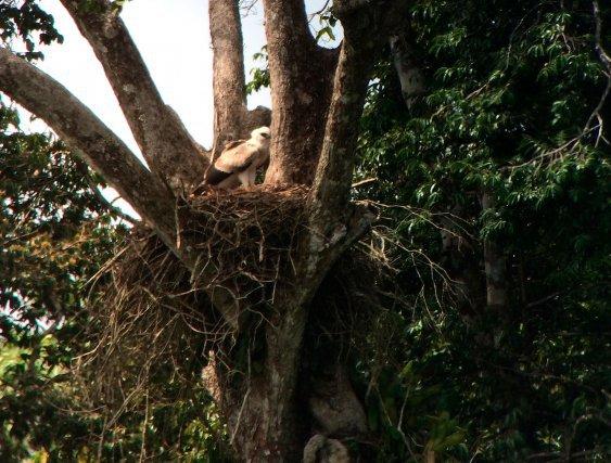 Nid de Harpie féroce à Paramana, Matoury