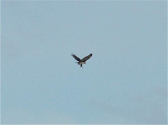 Harpie féroce en chasse à Roche Corail