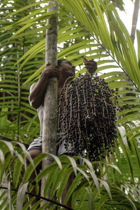 A Madre de deus, Odair Melo exploite des palmiers de murumuru et d'açaí, il s'agit d'un revenu important pour sa famille. Carcarena, Pará. Octobre 2008.