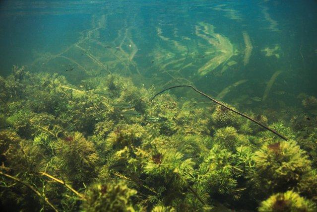 Moenkhausia collettii dans une forêt de cabomba