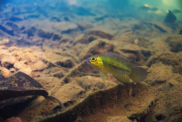 Nannacara aureocephalus
