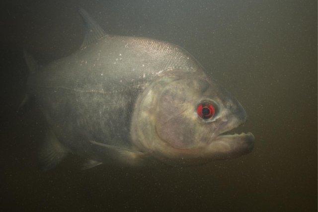Piranha: Serrasalmus rhombeus,
