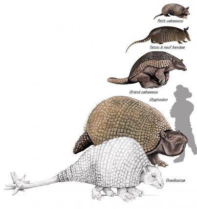 Le groupe des tatous a connu une tendance au gigantisme. L'une des lignées a engendré les tatous que nous connaissons actuellement, une autre comprenait des formes plus massives, munies d'une épaisse cuirasse dont Glyptodon, qui pesait 2 tonnes et le Doedicurus,