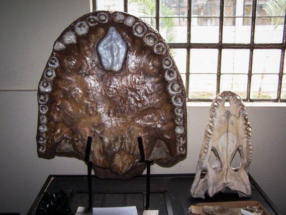 Comparaison entre une mâchoire de Caïman noir (à droite) et de Purussaurus, un caïman géant fossile de 12m de long qui vivait dans le Système Pebas.