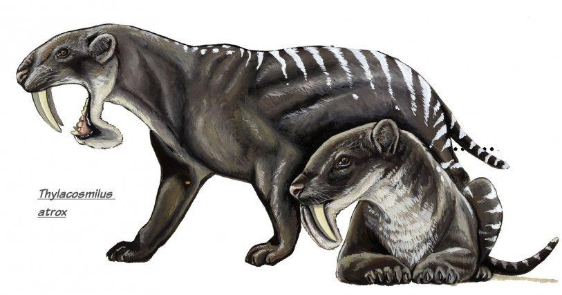 Thylacosmilus atrox fut des plus fameux marsupiaux d'Amérique latine, à présent disparus. De la stature d'un jaguar, près de 100kg, il était un chasseur de la savane.