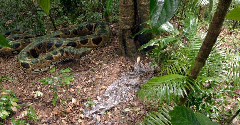 un Titanoboa, un boa géant de Colombie (58 millions d'années)