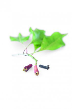Clous de girofle  Syzygium aromaticum