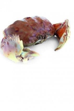 Langouste brésilienne (Panulirus guttatus), vit en mer entre 2 et 23m de profondeur.