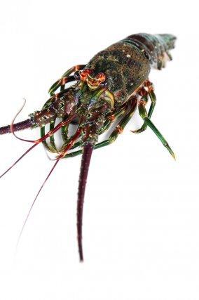 Crabe de mer (Calapa sulcata), se retrouve en mer entre 10 et 80m de profondeur.
