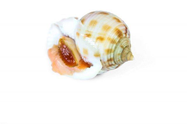 Phalium granutalum, coquillage marin