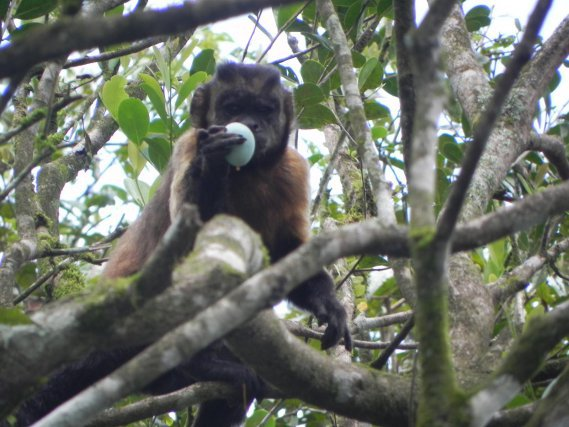 Capucin brun (Cebus Apella, volant des oeufs dans la colonie de Kaw