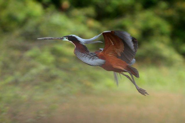 Heron agami en vol à la colonie de Kaw