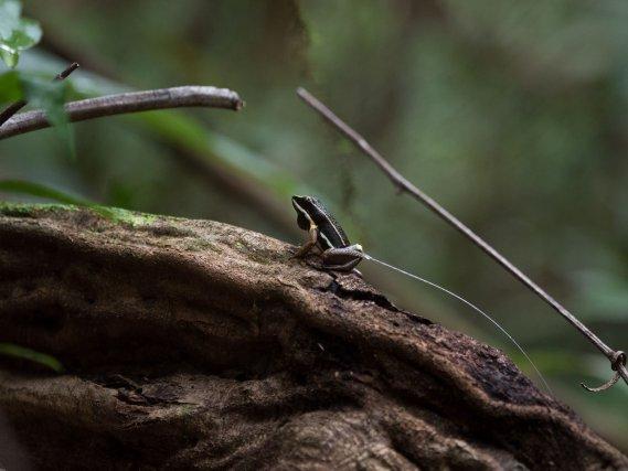 Allobates femoralis. L'espèce étudiée depuis plusieurs années par des chercheurs de l'Université de Vienne.