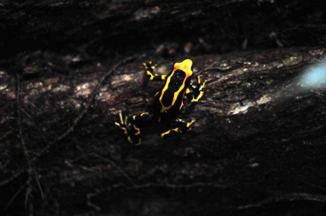 """Dendrobates tinctorius morphe """"Nouragues"""" à dominante noire et jaune.  Les couleurs de cette espèce varient selon les populations."""