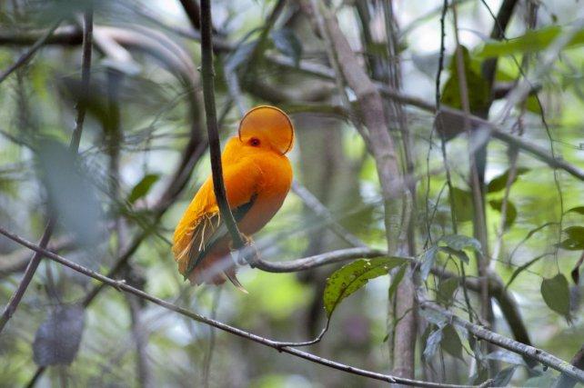 Le plumage du Coq de roche orange est adapté à la lumière des sites de leks. Les mâles paradent dans des petites taches de soleil, riches en lumière jaune-orangé, qui mettent en valeur leur couleur et les rendent très visibles aux femelles et aux mâles concurrents.