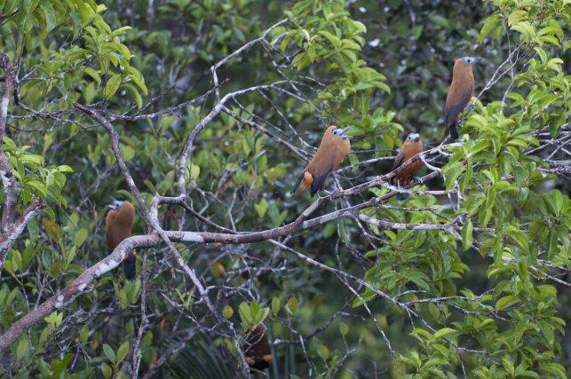 Chez la Coracine chauve, les mâles et les femelles  ont la même apparence.  La parade des mâles  est sonore et visuelle. L'étrange chant, qui ressemble un peu à un meuglement, est associé à différentes postures qui mettent en valeur le plumage. Les sous-caudales, ramenées de part et d'autres de la queue, forment alors deux spères oranges très visibles.