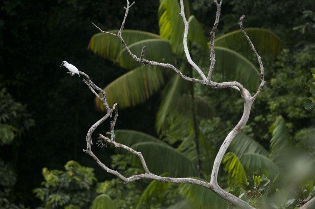 L'Araponga blanc, appelé aussi Oiseau-cloche, est, en Guyane, une espèce inféodée aux montagnes forestières. Les leks de cette espèce sont très étendus, chaque mâle est séparé de ses voisins par plusieurs centaines de mètres.