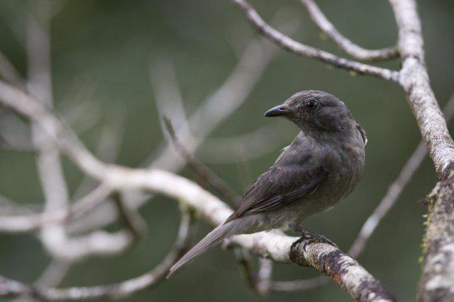 Le Paypayo (nom guyanais du Piauhau hurleur) et l'Oiseau-cloche possèdent deux des chants les plus puissants de tous les oiseaux. Lorsqu'ils paradent, leurs leks peuvent s'entendre plusieurs kilomètres à la ronde.