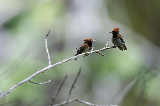 De nombreux colibris paradent sur des leks. Les mâles possèdent souvent des plumages aux ornements très colorés, comme ceux de la Coquette huppe-col.