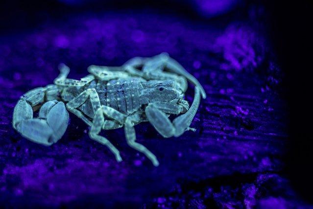 La carapace des scorpions est fluorescente à la lumière UV, ce qui facilite leur détection de nuit.