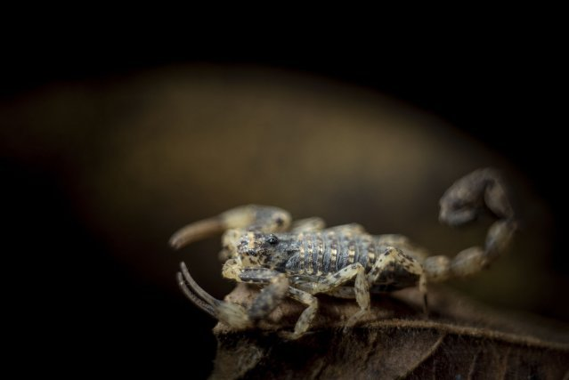 Tityus silvestris se trouve sur l'ensemble des zones forestières de Guyane. Sur la partie ouest du littoral, il semble être remplacé par Tityus mana.