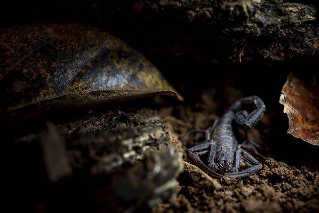Tityus obscurus.  Le scorpion le plus dangereux de Guyane