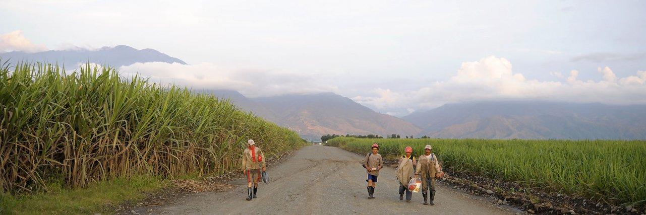 Valle del Cauca, 2008. Des ouvriers coupeurs de canne à sucre marchent entre les cultures à la tombée du jour.