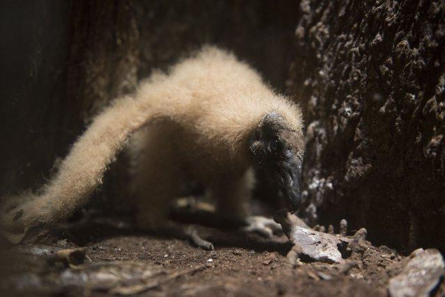 Une ouverture présente dans le bas du tronc du palétuvier permettait de photographier le petit poussin de Yalimapo, encore en duvet. Dans l'angle en bas à droite, un reste de coquille est encore visible.
