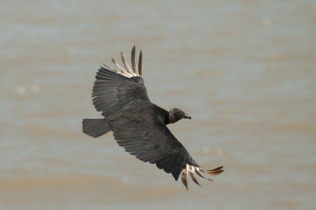 Les urubus noirs sont de bons voiliers, capables d'utiliser les ascendances thermiques autant que dynamiques. Le matin et à basse altitude, ils utilisent un vol battu rapide, entrecoupé de courts planés.