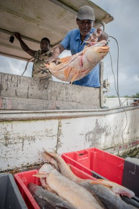 Débarquement d'acoupas rouges à la Crique à Cayenne.