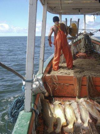 Acoupas capturés par une tapouille au large de Sinnamary.