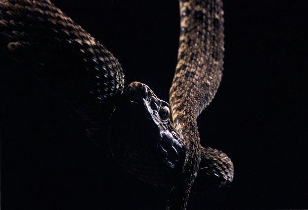 <i>Bothrops atrox</i>. Fer de lance, Grage.  Vipéridé solénoglyphe. Présent sur tout le territoire, y compris les zones péri-urbaines. Un des serpents les plus craints de Guyane, il n'attaque pourtant jamais délibérément. Inquiété, il devient par contre particulièrement irascible et couvre sa fuite en tentant de mordre tant qu'il est à découvert. Il se nourrit de mammifères, rongeurs et chiroptères, d'oiseaux, d'amphibiens et de petits lézards. Plutôt nocturne, il peut être actif dans la journée. La taille moyenne est de 80 cm à 1 m, parfois un peu plus.