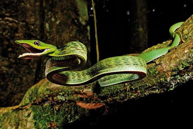 <i>Oxybelis fulgidus</i>. Serpent liane.  Colubridé opisthoglyphe. Forêt primaire et secondaire.  Complètement diurne, ce magnifique serpent arboricole est souvent vu traversant pistes et routes forestières. Il piste les micro-mammifères, les lézards et va cueillir les oiseaux au nid. Il tue ses proies en les maintenant dans sa gueule, ce qui lui permet d'inoculer son venin par mastication. Son tempérament vif le conduit à mordre facilement qui l'agresse, mais si on le laisse tranquille, il privilégie la fuite (comme tous les serpents, du reste). L'effet de son venin sur l'homme est généralement bénin, mais la prudence reste de mise. Sa taille varie entre 1m et 1m 50.  Texte et photos de Thierry Montford   [www.plume-verte.fr]