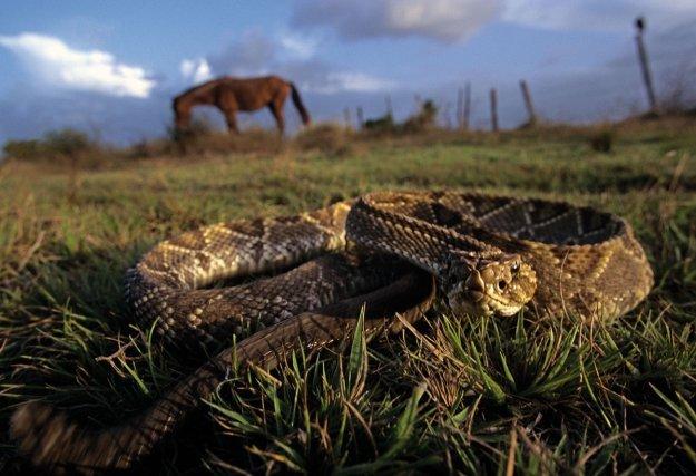 <i>Crotalus durissus</i>. Serpent à sonnettes.  Vipéridé solénoglyphe. Savanicole, il n'est présent en Guyane que sur le littoral, sur des spots isolés. Diurne et nocturne, il se nourrit de mammifères, tués à l'aide de son puissant venin. Sa morsure est incontestablement dangereuse, mais la rareté des rencontres rend le risque très improbable. Sa taille avoisine les 1m.