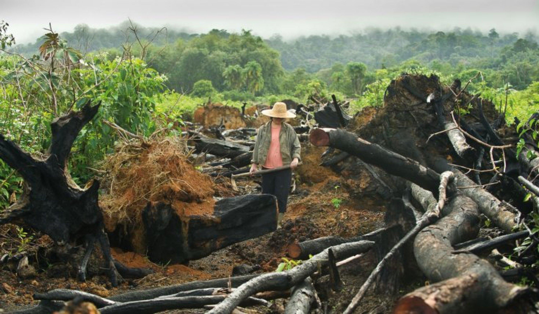 gingembre sur abattis-brûlis de M. Ly Gao You, président de l'association des Hmongs de Guyane.