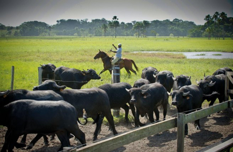 Guyane – élevage de buffles (Dalquier) à Sinnamary.