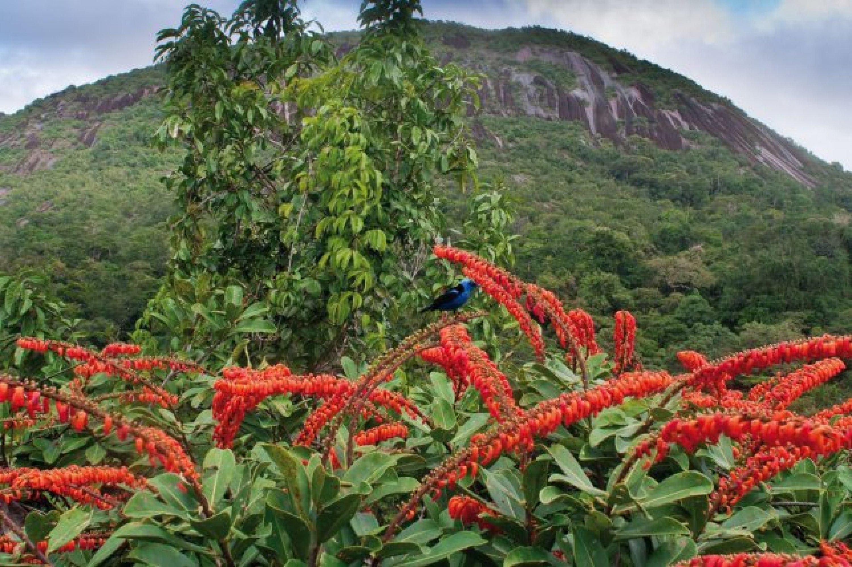La Norantea des Nouragues s'est développée dans la canopée d'un arbre d'une cinquantaine de mètres. Tout au sommet, elle a évincé la plupart des branches de l'arbre et créé un tapis orange au moment de la floraison. L'inselberg est au second plan.